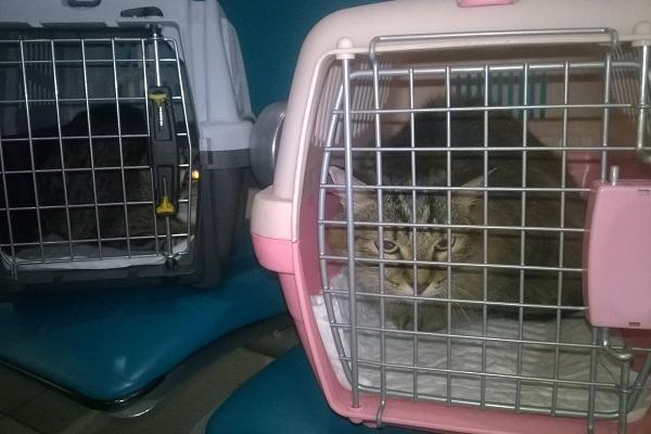 Как перевезти кошку в самолете по России